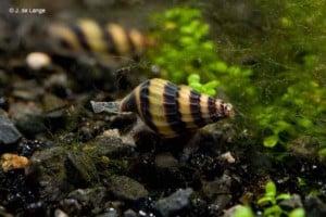 Anentome helena - Assassin Snail