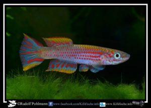 Aphyosemion jeanhuberi - COFE 2010-3