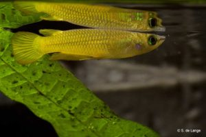 Aplocheilus lineatus - Striped Panchax - Gold - Male