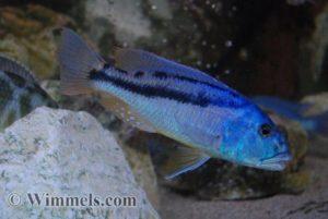 Aristochromis