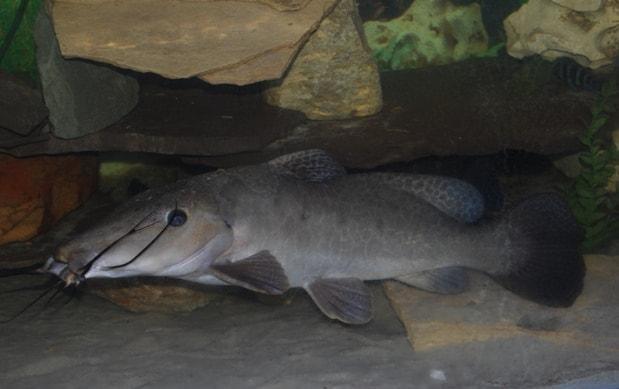 Auchenoglanis occidentalis