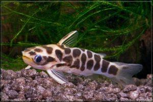 Driftwood Catfishes