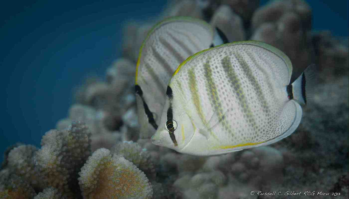 Butterflyfishes