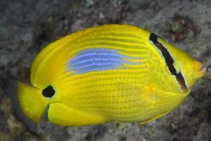 Chaetodon plebeius - Blue Spot Butterflyfish