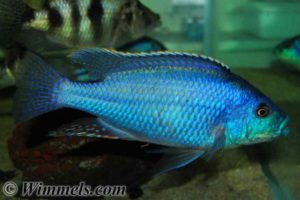 Cheilochromis euchilus - Malawi Thick Lip - Male