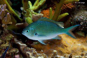 Chromis viridis - Blue Green Damselfish