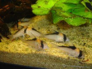 Corydoras adolfoi
