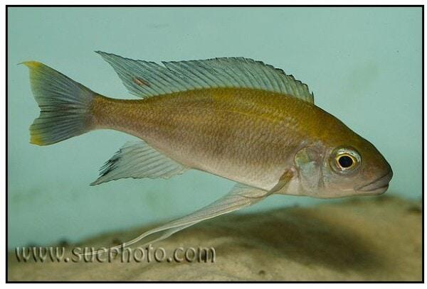 Cunningtonia longiventralis 1