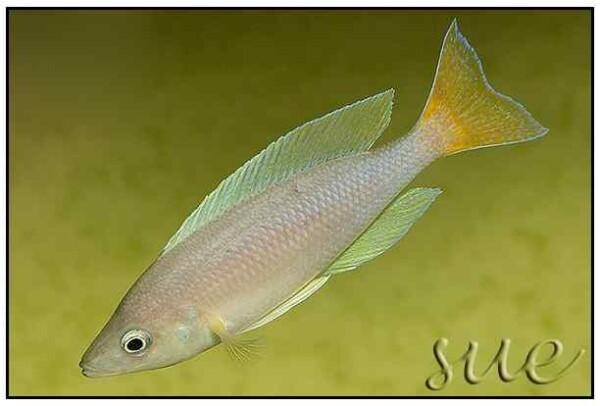 Cyprichromis coloratus - Mbita Island