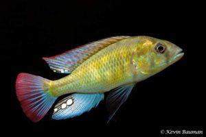 Haplochromis ishmaeli