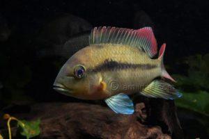 Heterochromis