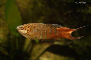 Macropodus opercularis - Paradisefish