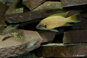 Neolamprologus brichardi - Fairy Cichlid