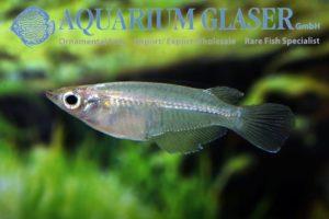 Adrianichthyidae