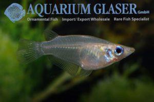 Oryzias dancena - Indian Ricefish - Female - Thailand
