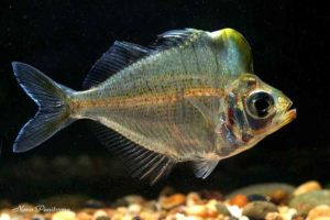Asiatic Glassfishes