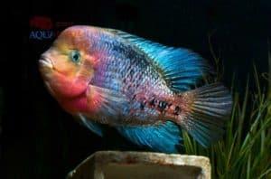 Paraneetroplus melanurus - Redhead Cichlid - Male