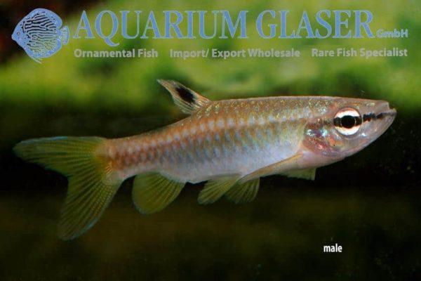 Pyrrhulina australis - Male