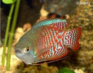 Trichogaster lalius - Dwarf Gourami