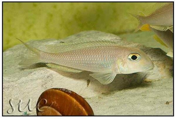 Xenotilapia boulengeri - Isanga