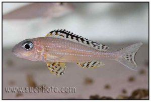 Xenotilapia papilio - Tembwe
