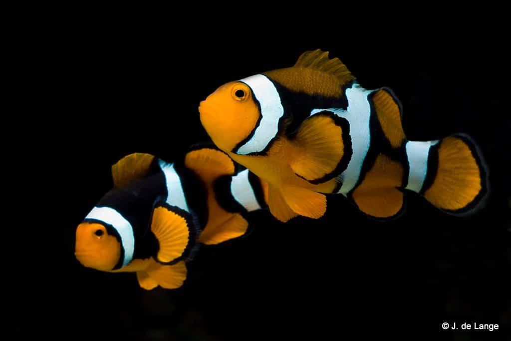 Pomacentridae