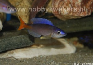 "Cyprichromis leptosoma ""Jumbo"" - Male"