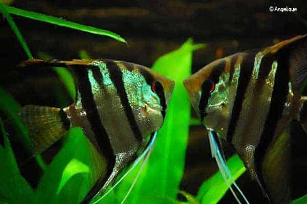 Pterophyllum scalare - Angelfish