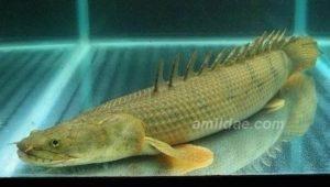 Polypterus endlicheri congicus