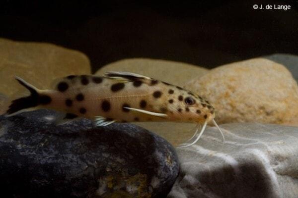 Synodontis petricola - Cuckoo Catfish