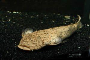 Lophiosilurus