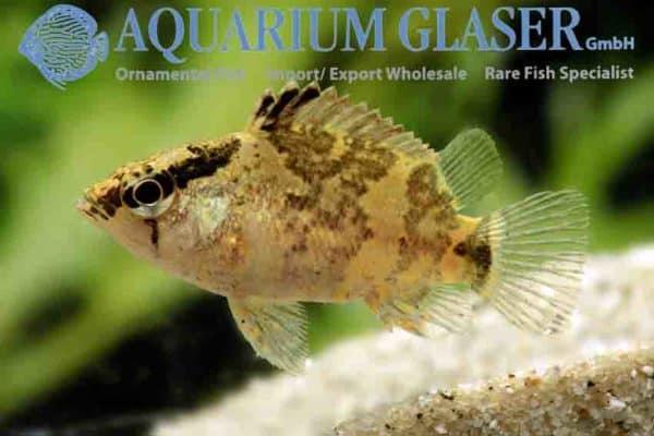 Nandus nebulosus - Bornean leaffish
