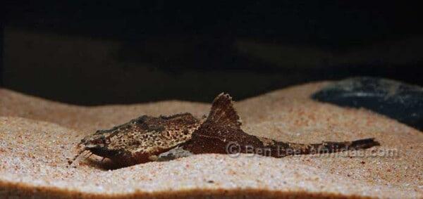 Bunocephalus verrucosus - Craggy Banjo Catfish