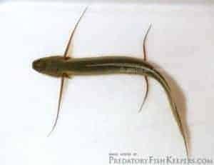 Protopterus amphibius - Gilled Lungfish