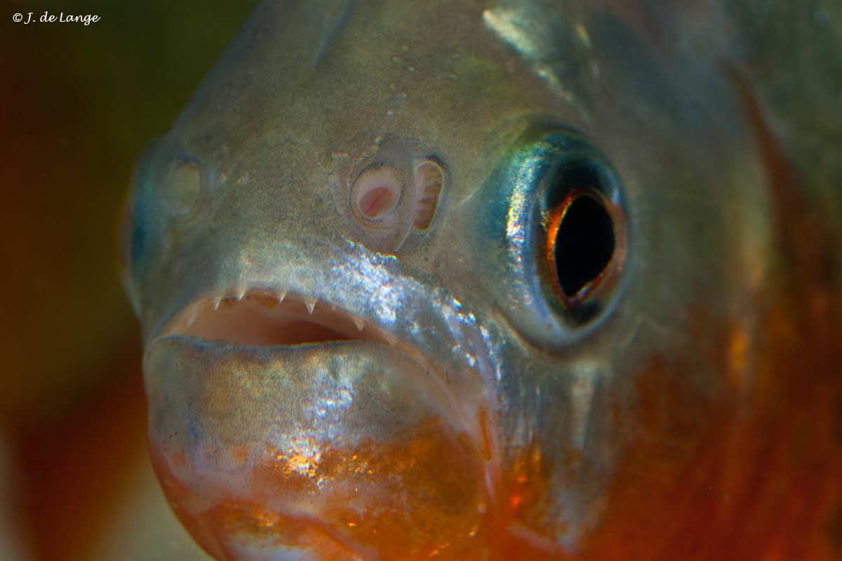 Serrasalmus nattereri - Ferocious piranhas?