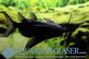Synodontis batensoda - Upsidedown Catfish