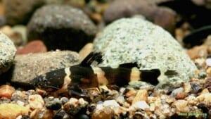 Pseudomystus leiacanthus - Dwarf Bumblebee Catfish