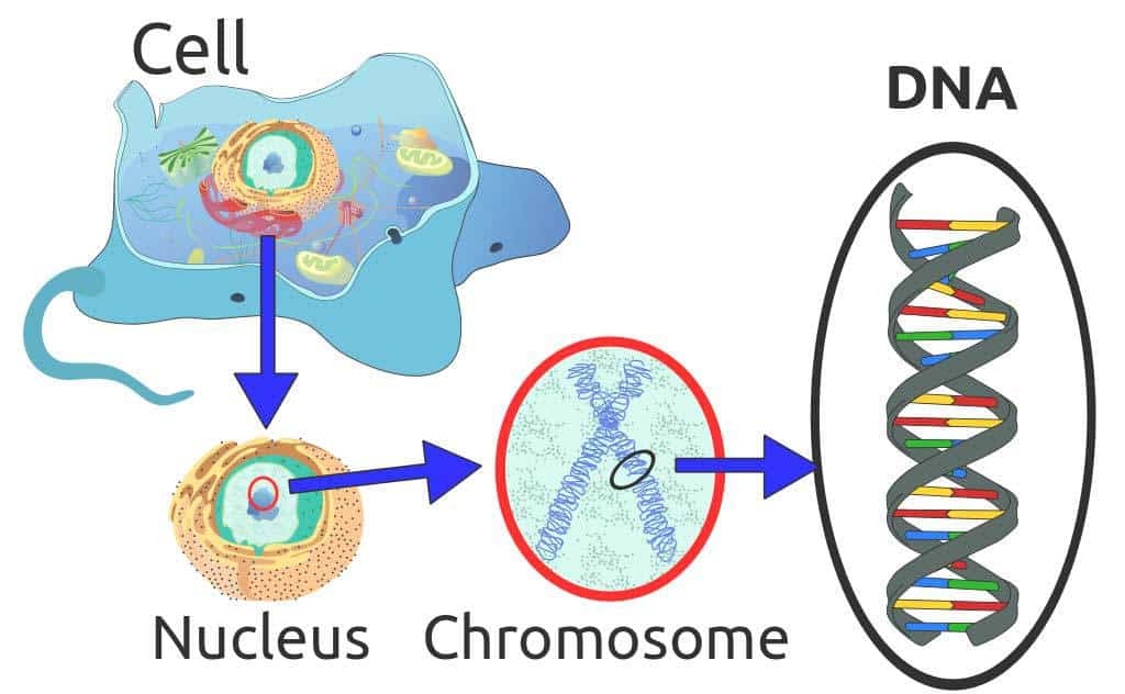 Cell-Nucleus-Chromosome-DNA