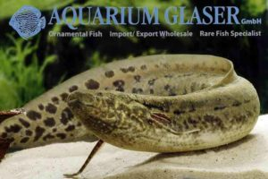 Protopterus annectens - West African lungfish