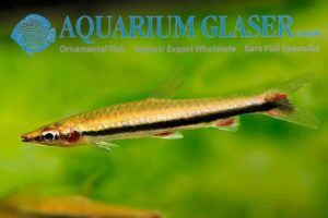 Nannostomus harrisoni - Blackstripe Pencilfish