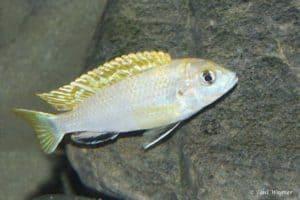 Labidochromis sp. Perlmutt - Male
