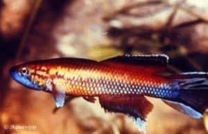 Callopanchax huwaldi