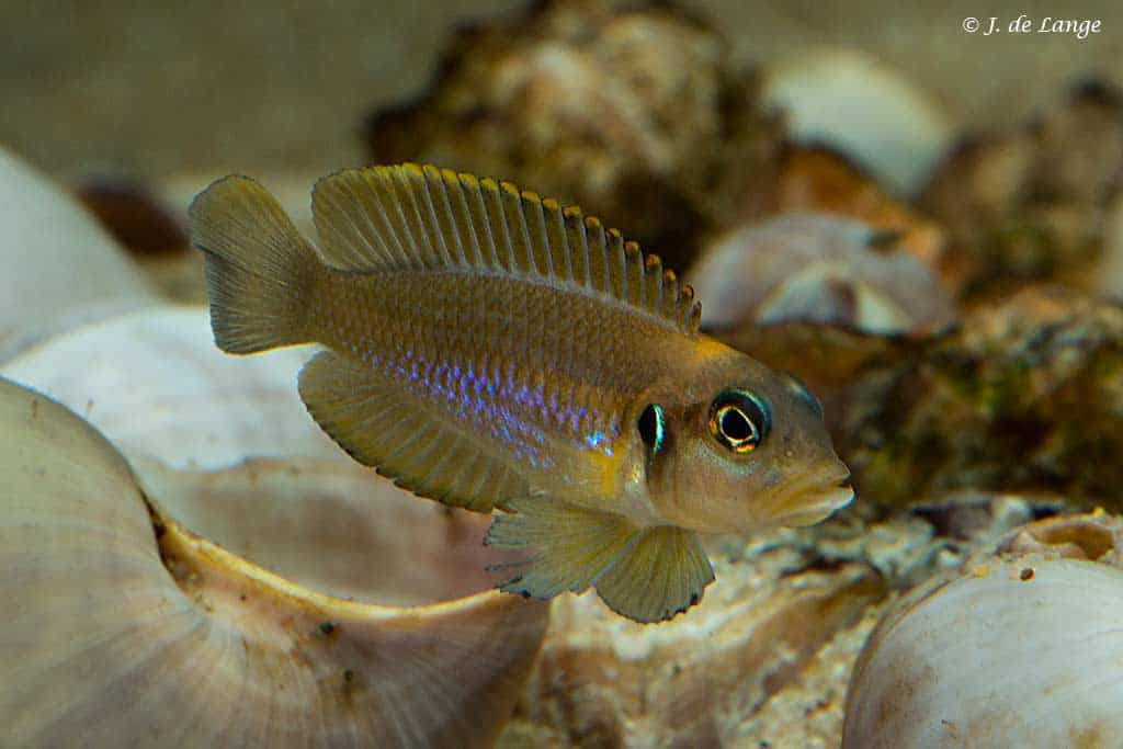 Lamprologus ocellatus - Male