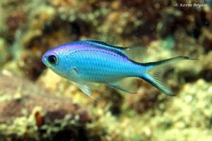 Chromis cyanea - Blue Chromis