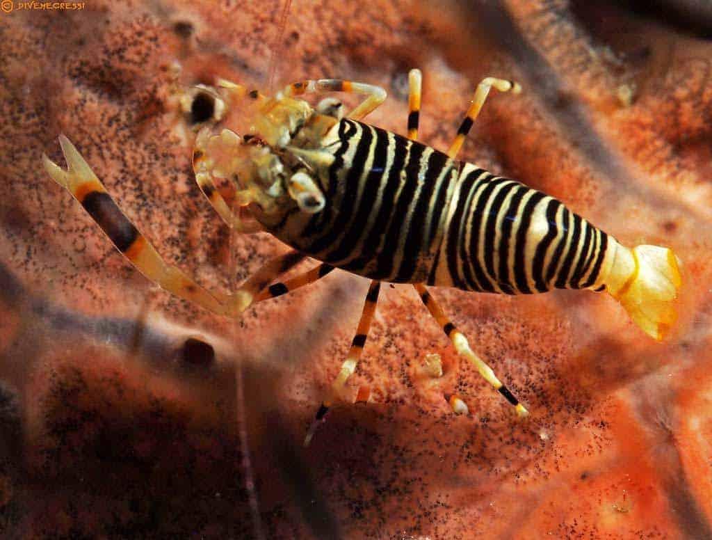 Gnathophyllum americanum - Striped Bumblebee Shrimp