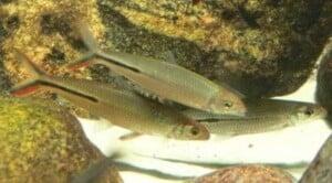 Hemiodus gracilis