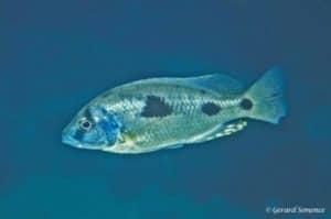 Naevochromis