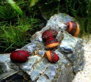 Vittina waigiensis - Red Nerite Snail