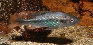 Haplochromis piceatus - male