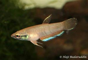 Betta taeniata - Tebedu - Male